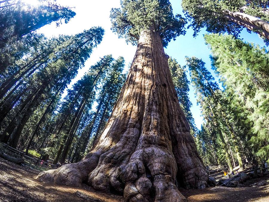 General-Sherman-Tree